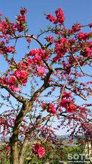 りんごの花(2)