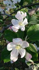 りんごの花(3)