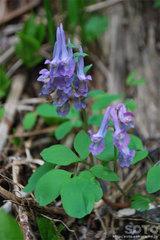 エゾエンゴサク(紫)