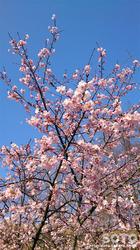 菊池の桜(2017/03-1)