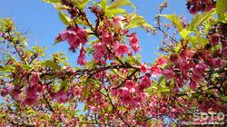 菊池の桜(2017/03-2)