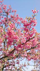 菊池の桜(2017/03-3)