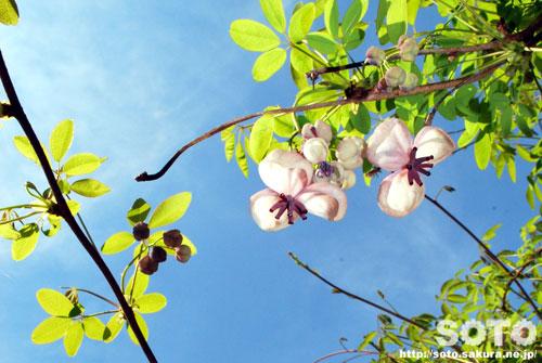 あけびの花