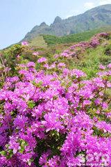 仙酔峡(ミヤマキリシマ1)