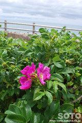 笹川流れ(花2)