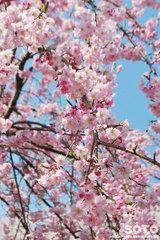 菊池の桜2014(枝垂れ桜)