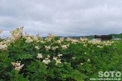 浜勇知(白い花)
