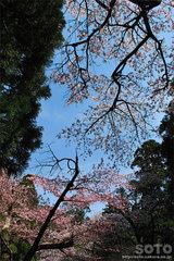 大山寺(桜)