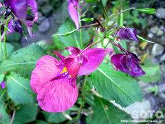 紫釣り船草