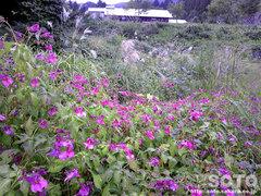 紫釣り船草の群生