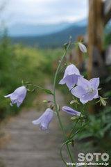 オロンコ岩に咲く花(8)