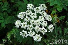 オロンコ岩に咲く花(9)