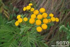 オロンコ岩に咲く花(3)