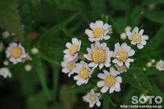 オロンコ岩に咲く花(4)