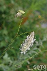 オロンコ岩に咲く花(5)