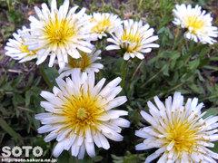 白タンポポの花
