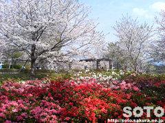 ツツジと桜の花