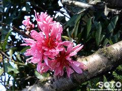 赤マンサクの花