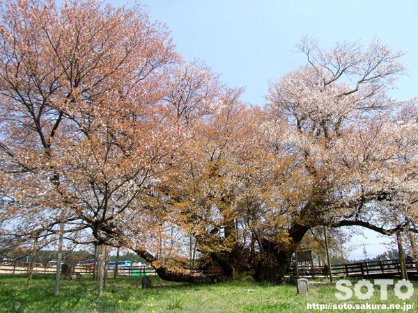 一心行の大桜(2010)