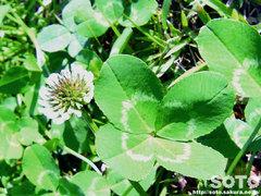 四ツ葉のクローバーと花