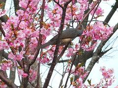 桜と鳥(1)