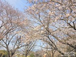 石人山古墳(桜)