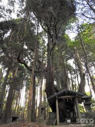 山伏師さまの逆さ杉(3)