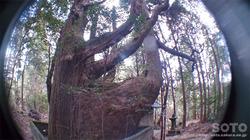 山伏師さまの逆さ杉(5)