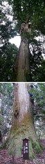行者杉(霊験杉)