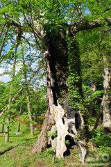 二の丸(代官所跡)の巨木