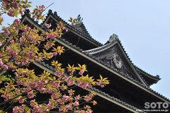 松江城(八重桜)