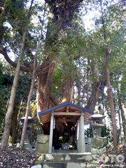 杉の老木(1)