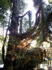 杉の老木(2)