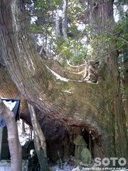 杉の老木(3)