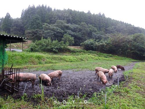 走る豚(03)