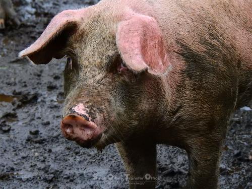 走る豚(06)