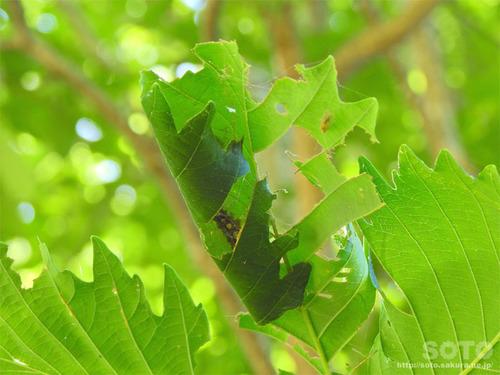 木下小屋(幼虫)