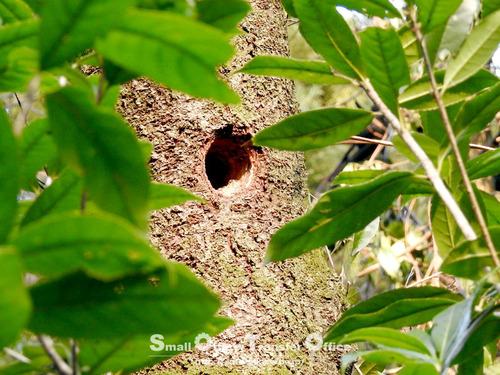 コゲラの巣?
