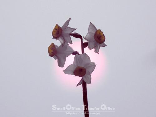 夕陽と水仙(1)