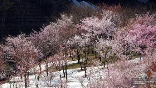 雪渓と桜(山形県)