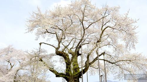 荘川桜(岐阜県)