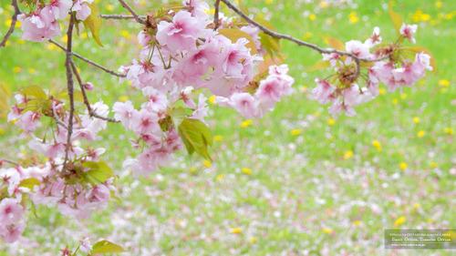 桜イメージ(1)