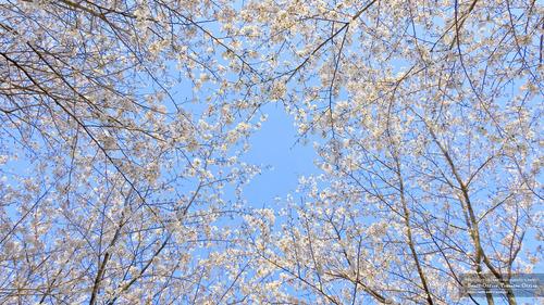 桜イメージ(3)