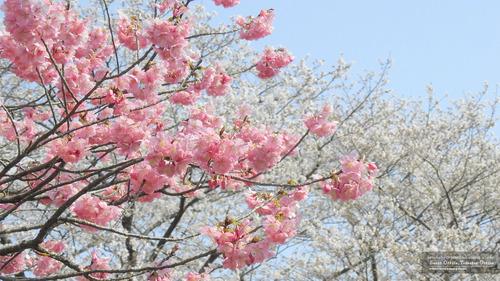 桜イメージ(4)