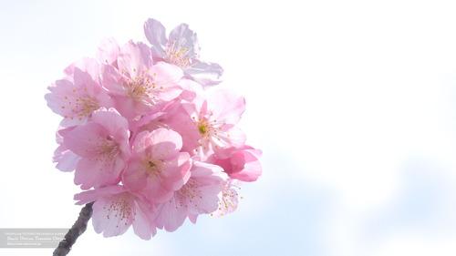桜イメージ(5)