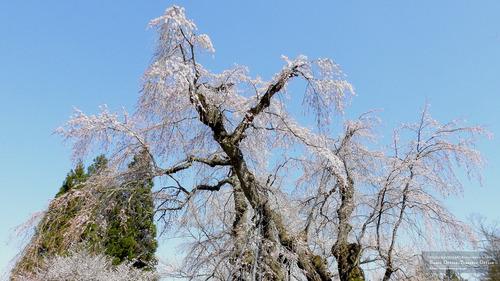 貞鱗寺の枝垂桜(長野県)