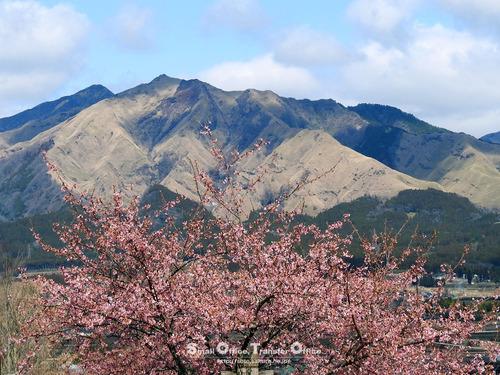 阿蘇山と河津桜