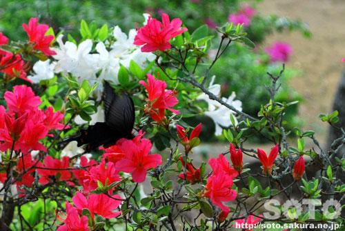 黒アゲハ蝶とツツジ