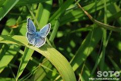 青いチョウチョ