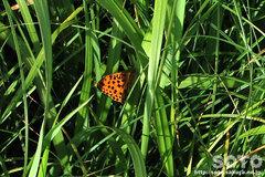 オレンジ色のチョウチョ